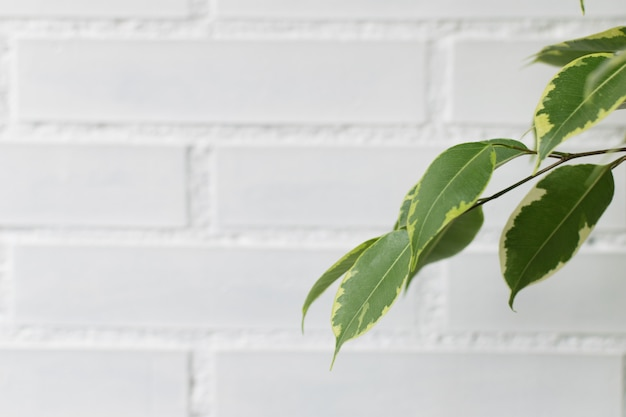 Ficus-benjamin-baum verlässt auf einem weißen ziegelsteinhintergrund mit raum