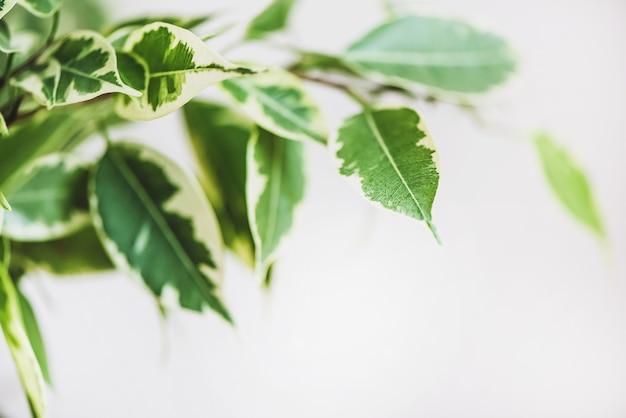 Ficus benjamin in dem topf, der im fensterdichtungs-stadtdschungelkonzeptnaturluftreinigerhauspflanzenporträt steht