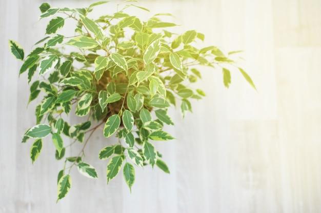 Ficus benjamina. dekorativer blumentopf, zimmerpflanze.