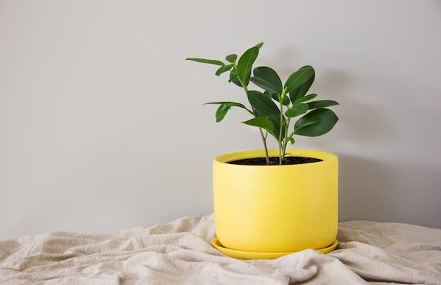 Ficus-blume in einem gelben blumentopf mit stoff auf grauem hintergrund innenkopie des raumes im skandinavischen stil