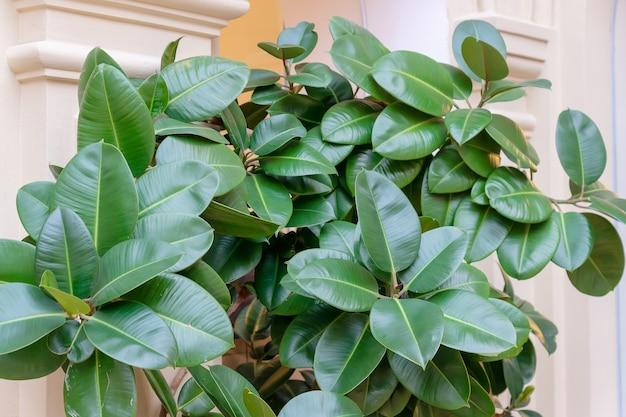 Ficus elastischer pflanzengummibaum in einem blumentopf im raum mit stuckformwänden. inländisches gartenkonzept.