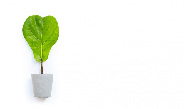 Ficus lyrate baum im zementtopf auf weißem hintergrund. herzformblatt.