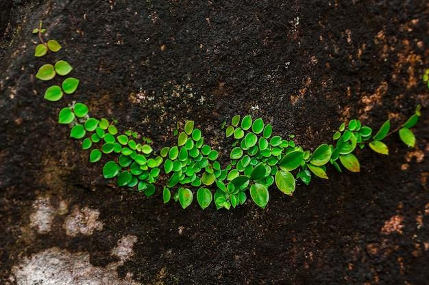 Ficus pumila auf felsen in den naturwäldern