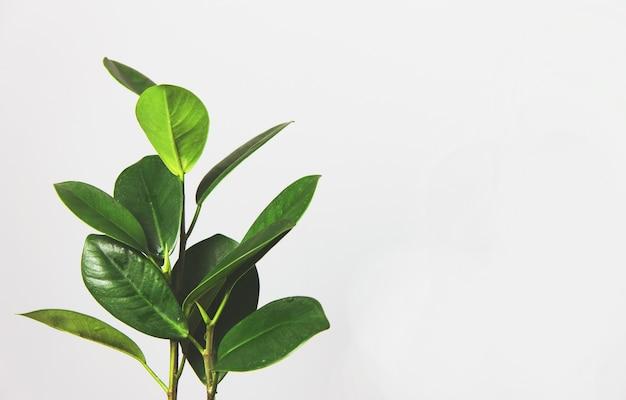 Ficusblätter schmücken das zusammengesetzte design stilvolles und minimalistisches interieur des städtischen dschungels