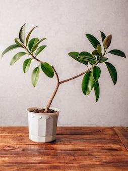 Ficuspflanze im weißen topf auf holzoberfläche