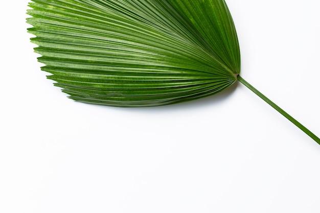 Fidschi fan palm auf weißem hintergrund.
