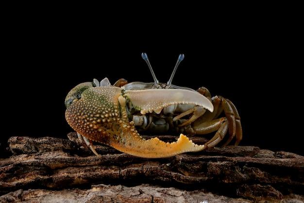 Fiedlerkrabbe nahaufnahme auf schwarzer wand comando crab ocypodidae nahaufnahme gelb violinkrabbe