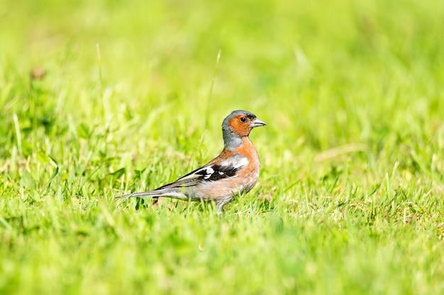Finch sitzt auf dem grünen rasen im park