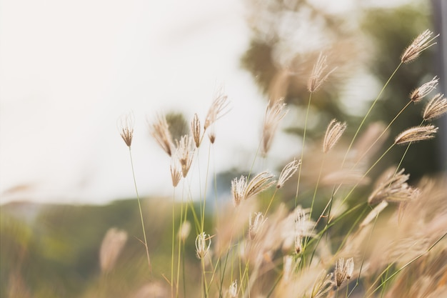 Fingergras (geschwollenes fingergras) mit undeutlichem hintergrund des grünen grases und des sonnenlichts
