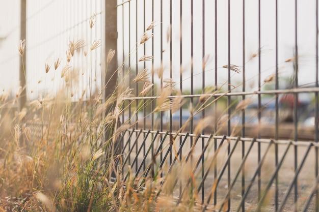 Fingergras (geschwollenes gras) auf dem zaun mit unscharfem hintergrund und angemessenem licht