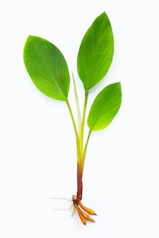 Fingerwurzelpflanze auf weißer oberfläche