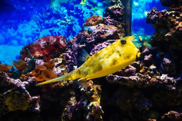 Fisch cowfish longhorn, das in einem großen hellen aquarium zwischen den riffen schwimmt