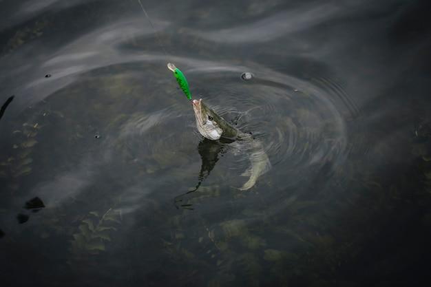 Fisch erschien auf der oberfläche von wasser gefangen in angelhaken