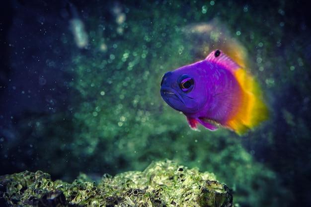 Fisch royal gramma basslet