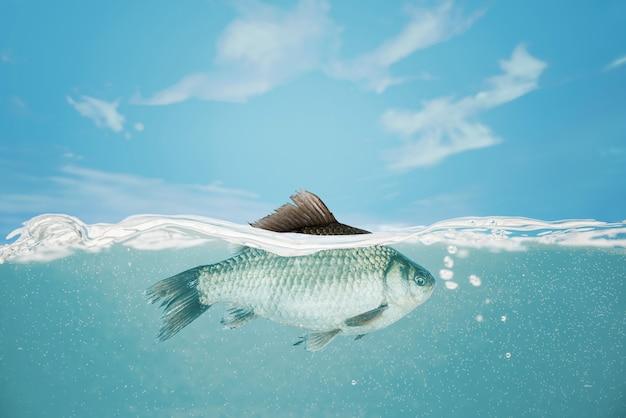 Fisch unter wasser. karausche fällt in den fluss