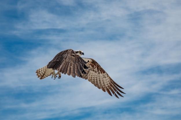 Fischadler im flug gegen blauen himmel mit wolken, mexiko