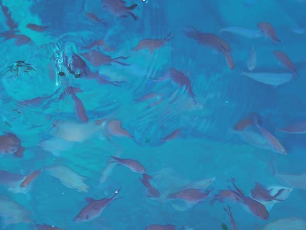 Fische unter wasser. seehintergrund. füttern der fische im mittelmeer.