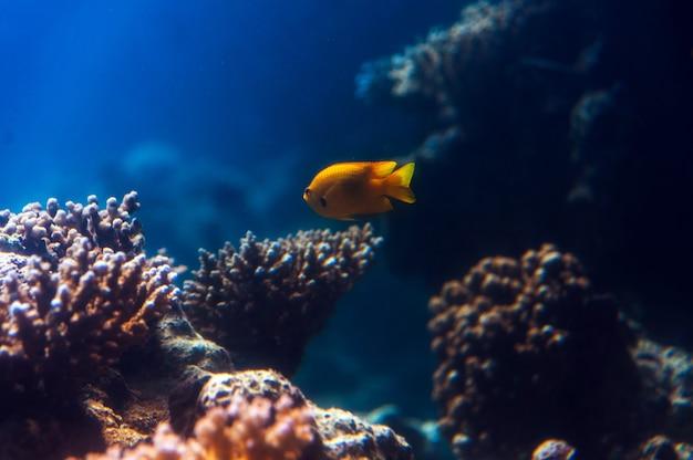 Fischen sie in einem aquarium am roten meer