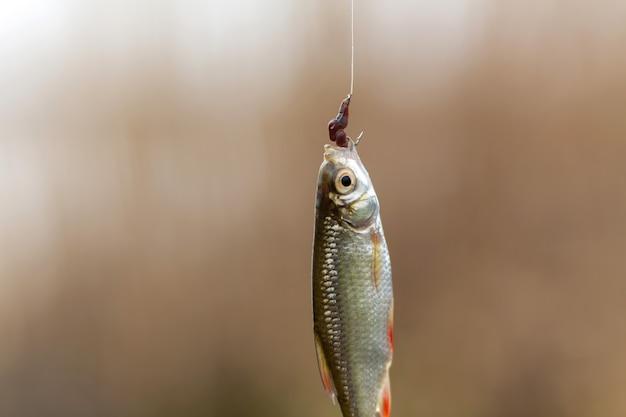 Fischer fing einen kleinen fisch am haken mit einem wurm