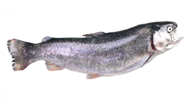 Fischforelle