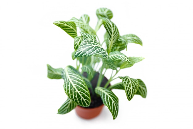 Fittonia pflanze auf weißem hintergrund.