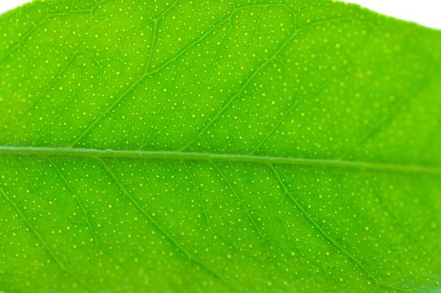 Flach ein grünes blatt des zitrusbaums. nahansicht