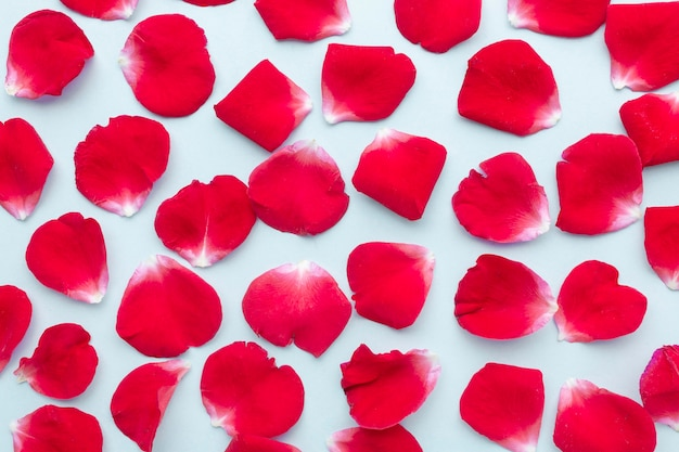 Flach gelegte eisbergrosenblütenblattanordnung