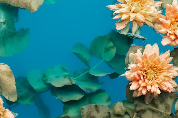 Flach legen blasse chrysanthemen in blau gefärbtem wasser