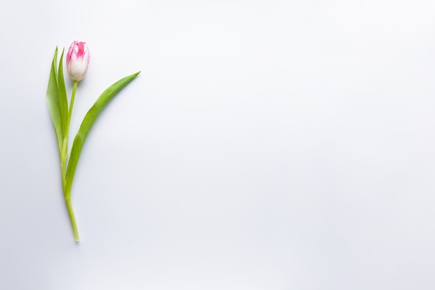 Flach legte eine tulpe auf einen weißen hintergrund mit copyspace