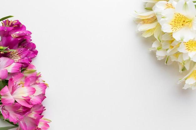 Flach liegende weiße und rosa alstroemerien