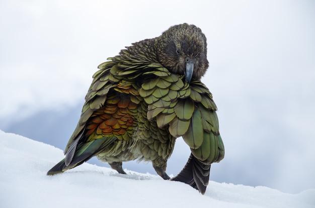 Flache fokusaufnahme eines nestor kea in neuseeland