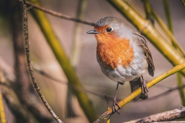 Flache fokusaufnahme eines rotkehlchenvogels, der an einem sonnigen tag auf einem ast sitzt