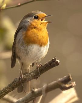 Flache fokusaufnahme eines rotkehlchenvogels, der auf einem ast mit offenem schnabel sitzt