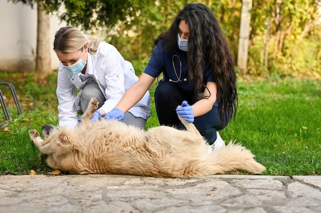 Flache fokusaufnahme von tierärzten, die eine medizinische untersuchung an einem golden retriever durchführen