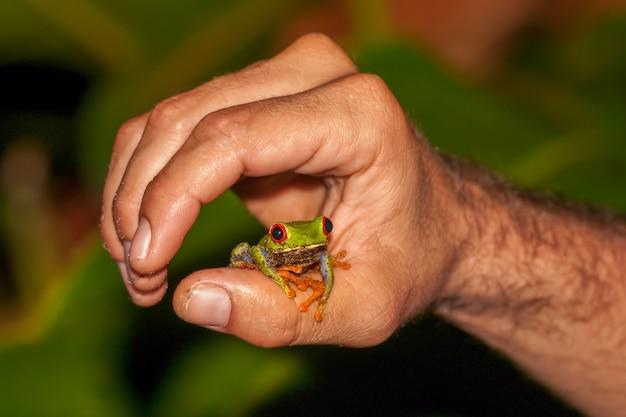 Flache fokusnahaufnahme eines rotäugigen waldfrosches auf einem daumen einer männlichen hand