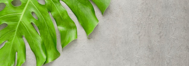 Flache lage des monstera-pflanzenblattes mit kopienraum