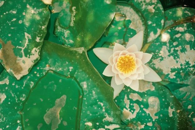 Flache seerose große grüne blätter und ein blumenschwimmer im seeteich mit schönem lotus