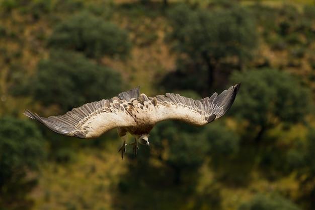 Flacher fokus eines gänsegeiers (gyps fulvus), der mit weit geöffneten flügeln fliegt