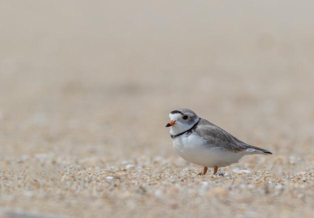 Flacher fokus eines kleinen vogels an einem trüben tag am strand