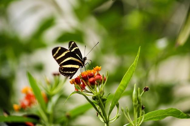 Flacher fokusschuss der nahaufnahme eines zebra-langflügelschmetterlings, der kleine orange blumen füttert