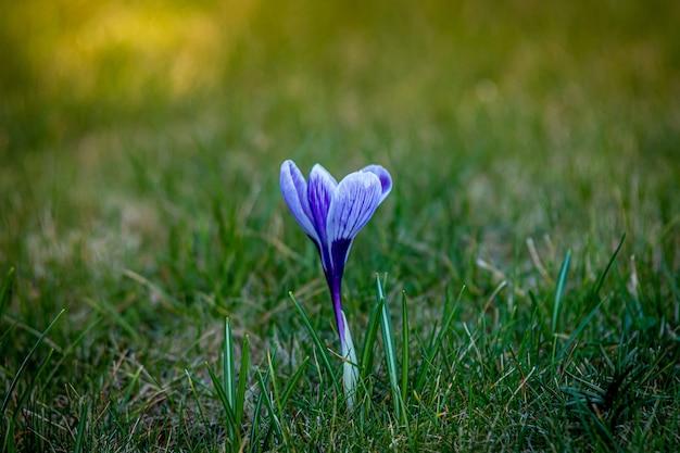 Flacher fokusschuss einer blauen krokusblume in einem grünen grasfeld