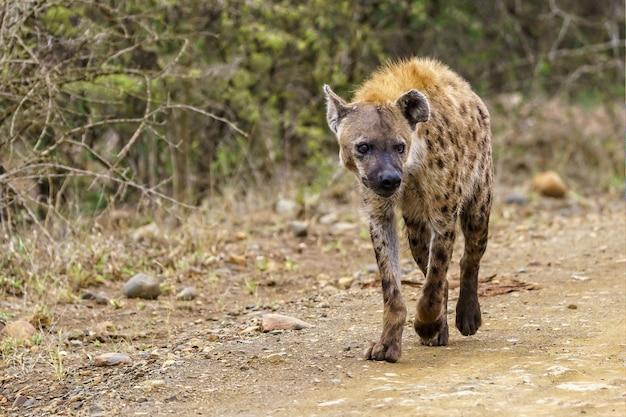 Flacher fokusschuss einer gefleckten hyäne, die auf einer unbefestigten straße mit einem unscharfen raum geht