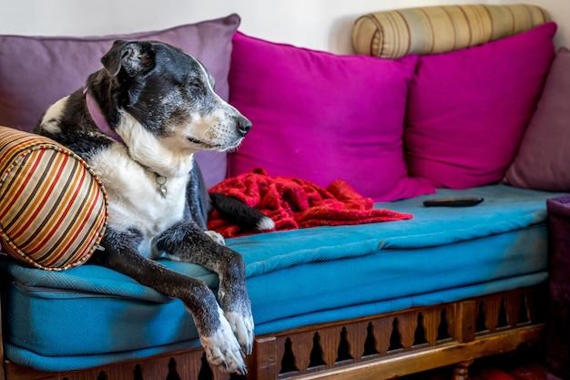 Flacher fokusschuss eines alten hundes, der auf der couch ruht