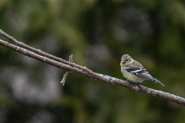 Flacher fokusschuss eines amerikanischen stieglitzvogels, der auf einem ast ruht