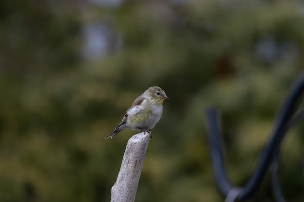 Flacher fokusschuss eines amerikanischen stieglitzvogels, der auf einem zweig ruht