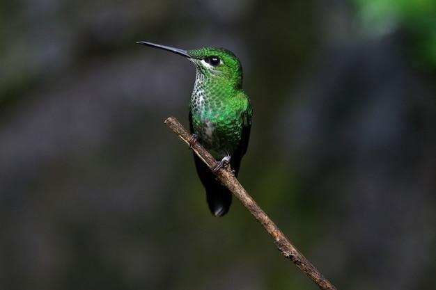 Flacher fokusschuss eines kolibris auf einem ast