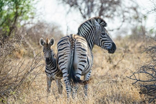 Flacher fokusschuss eines mutterzebras mit ihrem baby, das auf einem trockenen grasfeld steht