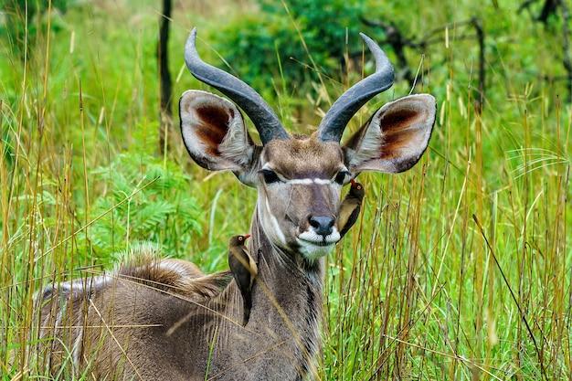 Flacher fokusschuss von rotschnabel-madenhacker-vögeln, die auf kudu-antilope mit einem unscharfen hintergrund pflücken