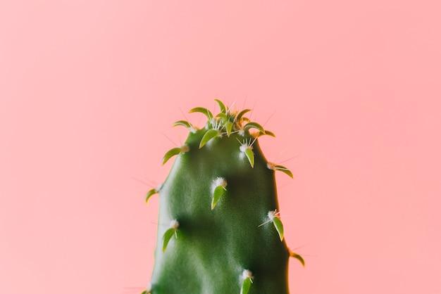 Flacher grüner kaktus der nahaufnahme auf einem rosa hintergrund
