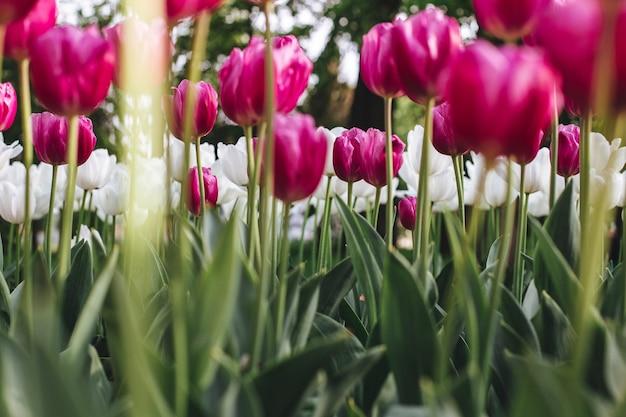 Flacher winkelschuss der bunten tulpen, die in einem feld blühen